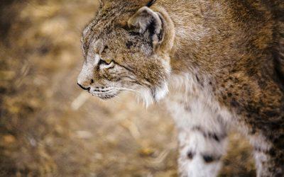 Lince ibérico, la salida de una extinción